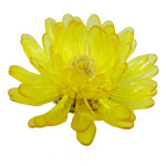 Gerbera, Yellow, Transparent 1113